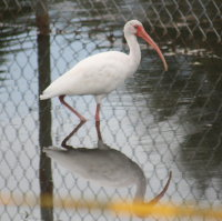 Ibis in pond New Port Richey Florida