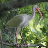 White Ibis Tarpon Springs Florida