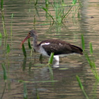Immature White Ibis Port Richey Florida
