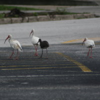Ibis Family Tarpon Springs Florida