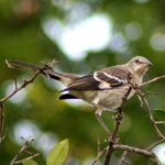Mockingbird - Florida's State Bird