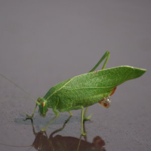 Oval Winged Katydid