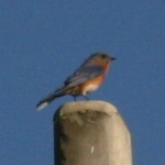 Eastern Bluebird in Hudson Florida