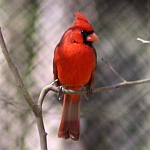 Northern Cardinal Photos