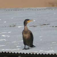 Cormorant on Roof Top - Gatorland Florida