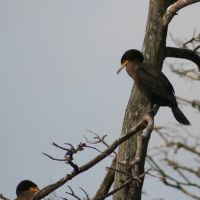 Cormorants in Tree at Gatorland Florida