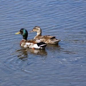 Mallards at Wall Springs Park