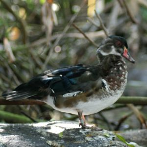 Wood Duck Tampa Florida