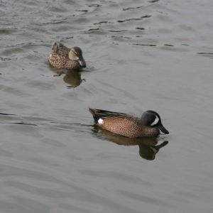 Blue-winged Teal Male and Female