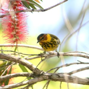 Cape May Warbler in Bottle Brush Tree