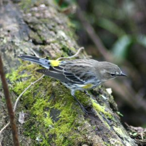 Yellow-rumped Warbler at Gatorland Florida
