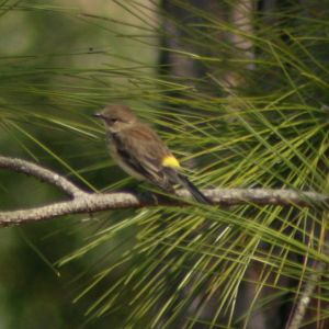 Yellow-rumped Warbler at Anderson Park Tarpon Springs Florida