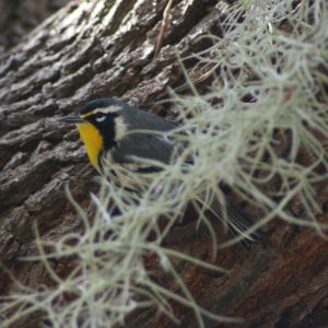 Yellow-throated Warbler at Anderson Park Tarpon Springs Florida