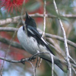 Black-throated Blue Warbler in Bottle Brush Tree