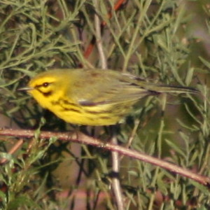 Prairie Warbler in New Port Richey Florida