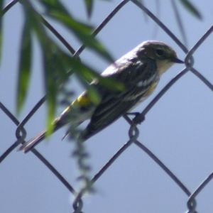 Yellow-rumped Warbler in Port Richey Florida