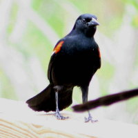 Redwing Blackbird Standing on Railing