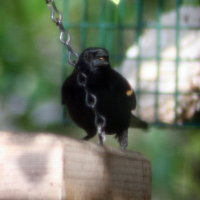 Redwing Blackbird in Feeder