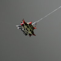 Thorny Orb Weaver Spider